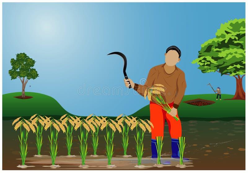 Farmer harvest rice. In paddy field design vector illustration