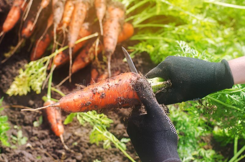 A farmer harvesting carrot on the field. Growing organic vegetables. Seacional job. Farming. Agro-industry. Agriculture. Farm. stock photo