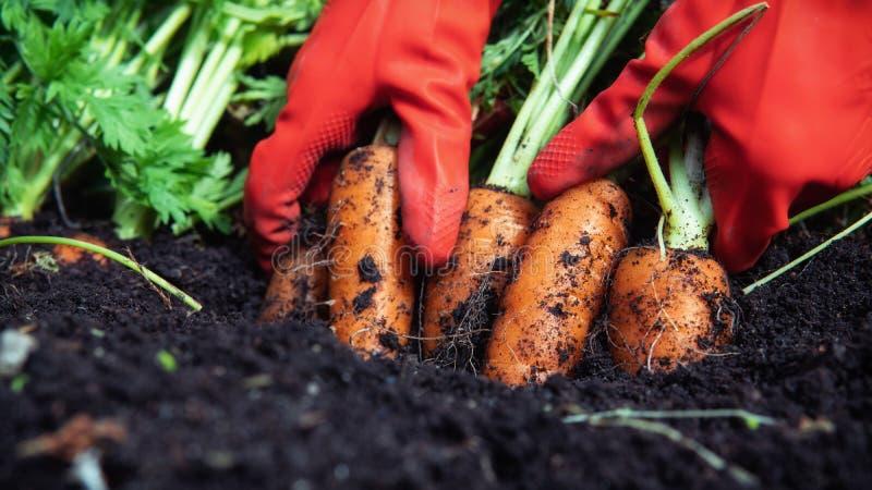 A farmer harvesting carrots. Close up. royalty free stock photo