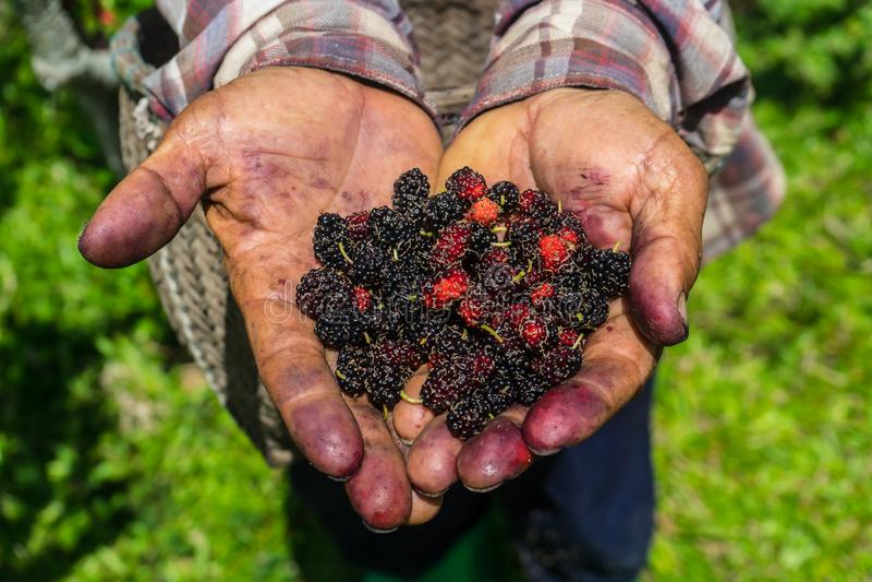 Farmer is harvesting Mulberry fruit. stock images