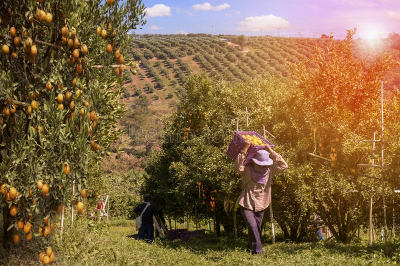 Farmer harvesting oranges in an orange tree field stock image