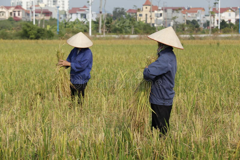 Farmer is harvesting rice plant stock photography