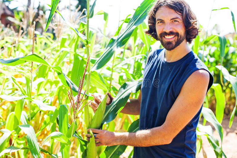 Farmer in his thirties picking corn on a field royalty free stock photo