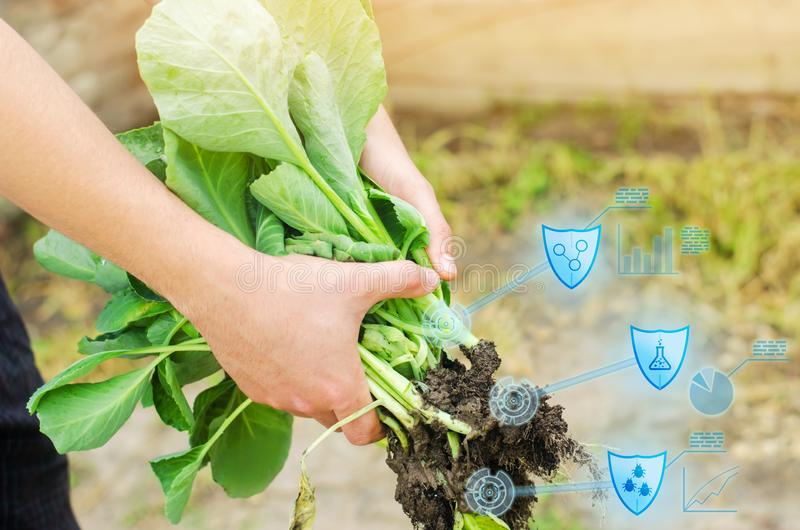Farmer is holding cabbage seedlings ready for planting in the field. farming, agriculture, vegetables, agroindustry. Innovations. Quality control, increase stock image