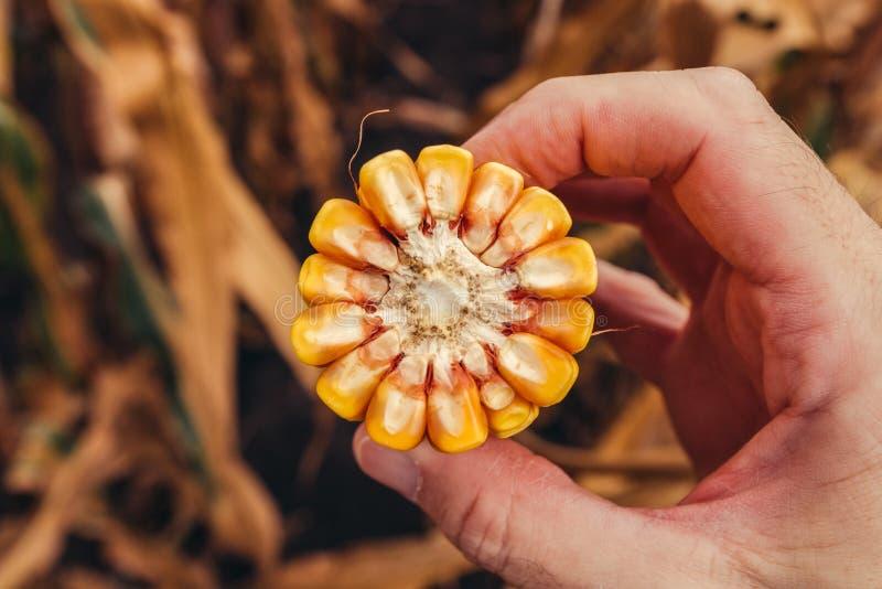 Farmer holding corn on the cob broken in half stock image