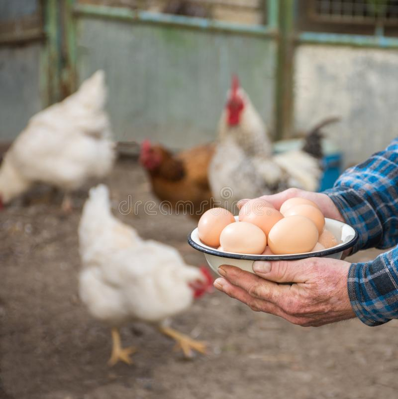 Farmer holding fresh organic eggs. Hens on the background stock photography
