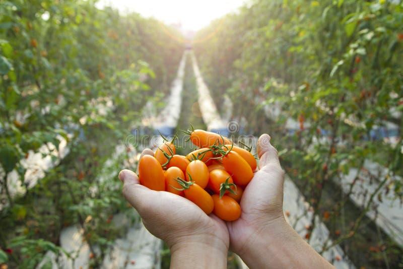 Farmer holding fresh tomato. Hand of farmer holding fresh tomato royalty free stock images