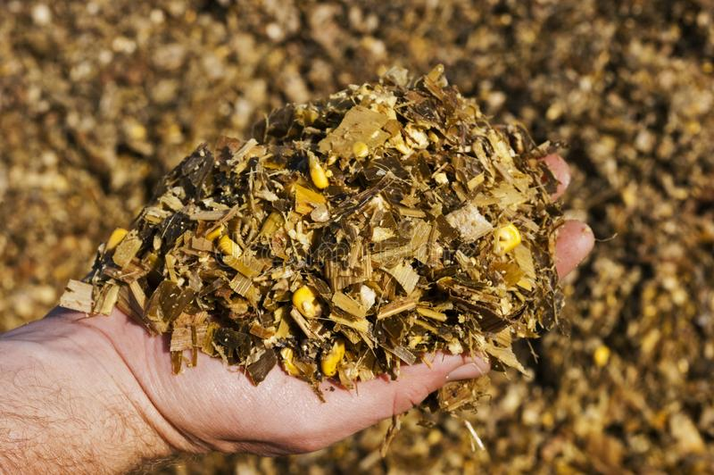 A farmer holding golden, fermented corn silage ready to feed royalty free stock photos