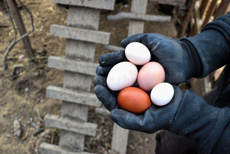 Farmer holding in hands fresh hen eggs on barnyard.  royalty free stock photos