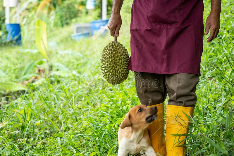Farmer and musang king durian stock image