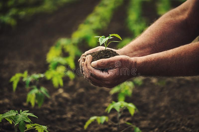 Farmer holding pepper plant in hands on field, homegrown organic vegetables stock images