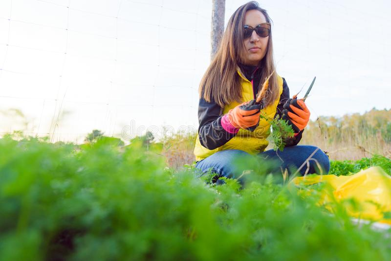 Farmer holds carrots in his hands. Collecting harvest: orange carrot in hands of female farmer. Close-up of carrots harvested from royalty free stock image