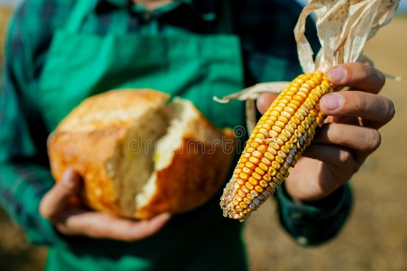 Farmer holds fresh bread. Bread made from corn on the white fabric. tasty bread with yellow cornfield. stock photo