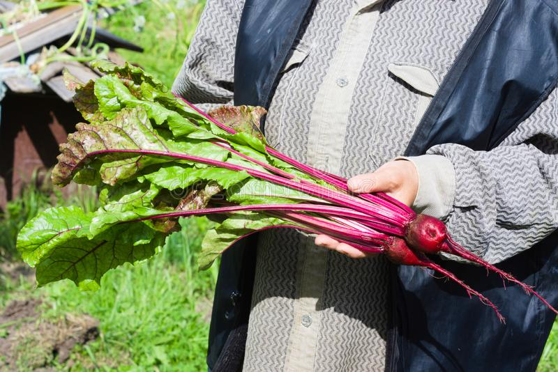 The farmer holds in hands a crop of red chard royalty free stock photos