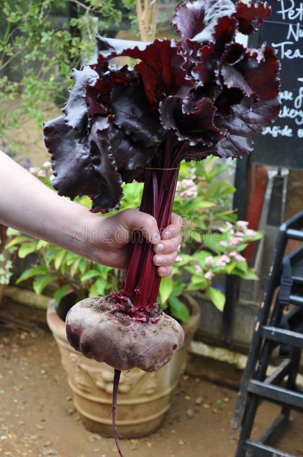Farmer holds organic beetroot stock photo