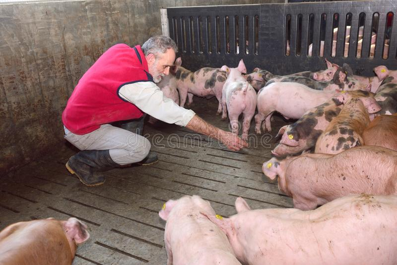 Farmer inside a pig farm, petting the pigs.  stock photo