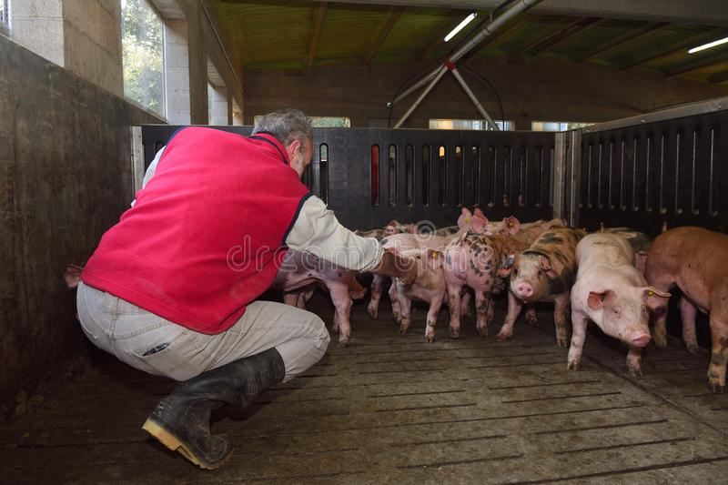Farmer inside a pig farm, petting the pigs.  royalty free stock image