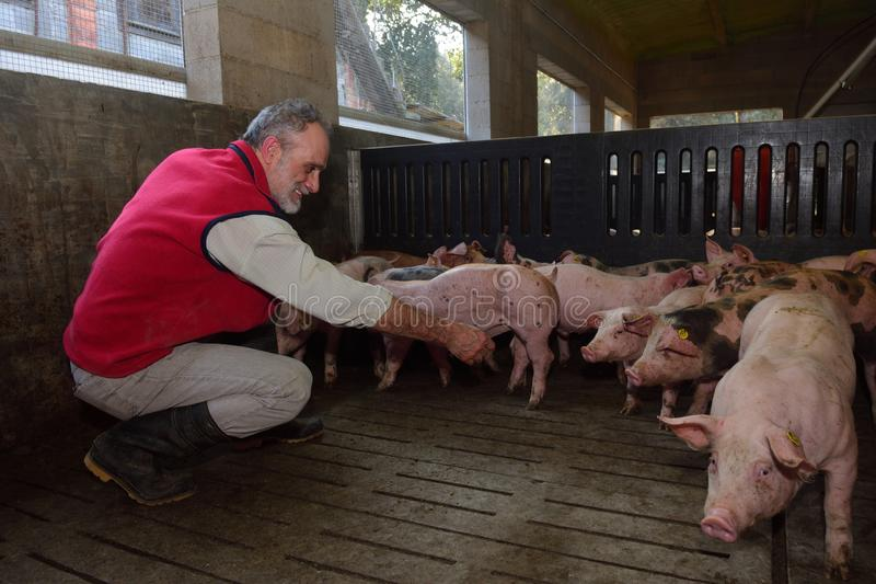 Farmer inside a pig farm, petting the pigs.  stock image