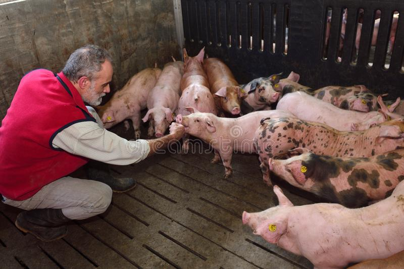 Farmer inside a pig farm, petting the pigs.  royalty free stock photography