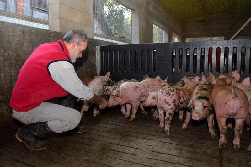 Farmer inside a pig farm, petting the pigs.  royalty free stock photo