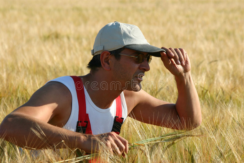 Farmer inspecting the barley royalty free stock images