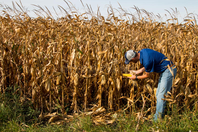 Farmer Inspecting Corn FIeld royalty free stock photography