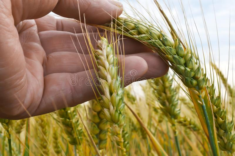 A Farmer Inspects Winter Wheat royalty free stock image