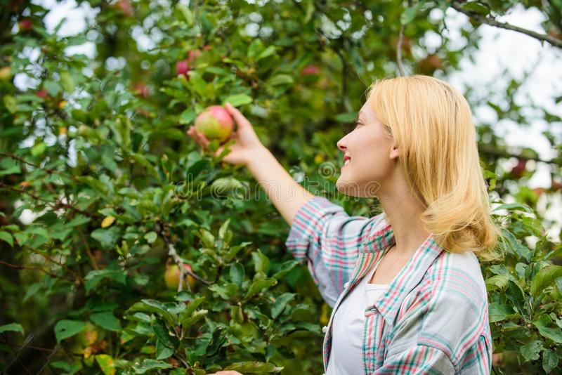 Farmer lady picking ripe fruit from tree. Harvesting concept. Woman hold ripe apple tree background. Farm producing. Organic eco friendly natural product. Girl stock photography
