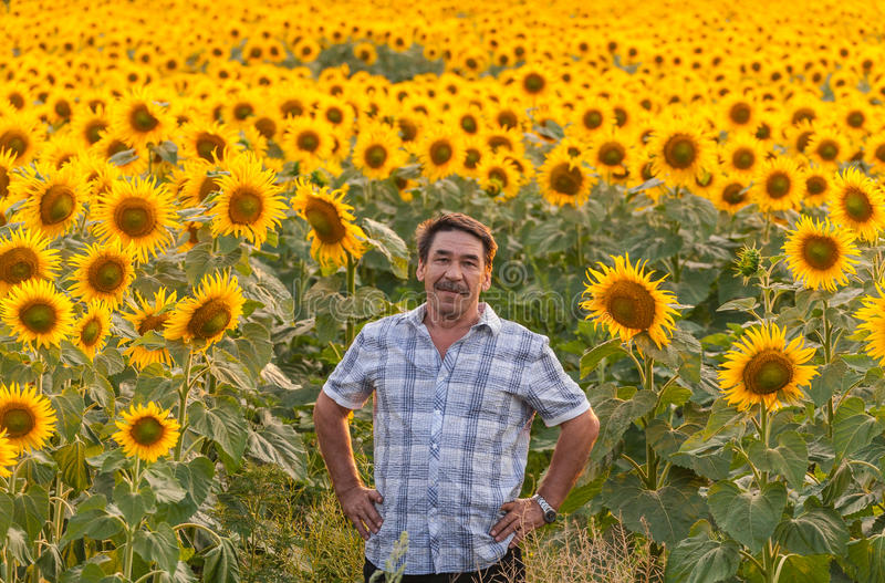 Farmer looking at sunflower stock photo