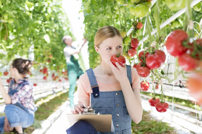 Farmer making report while smelling tomato against coworkers in greenhouse stock images