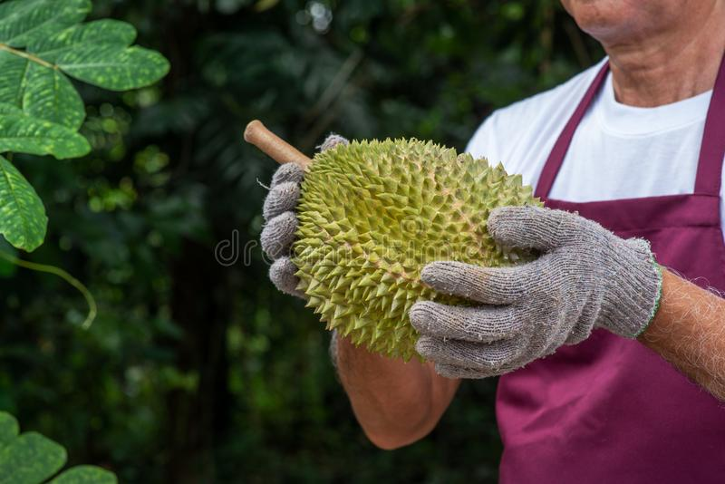 Farmer and musang king durian stock photos