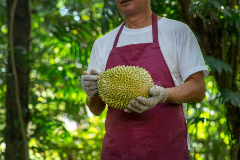 Farmer and musang king durian stock images