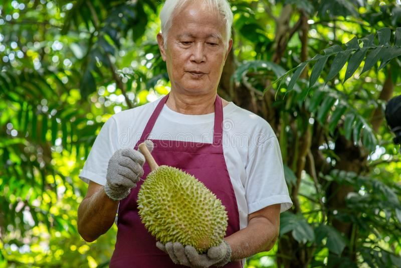 Farmer and musang king durian royalty free stock images