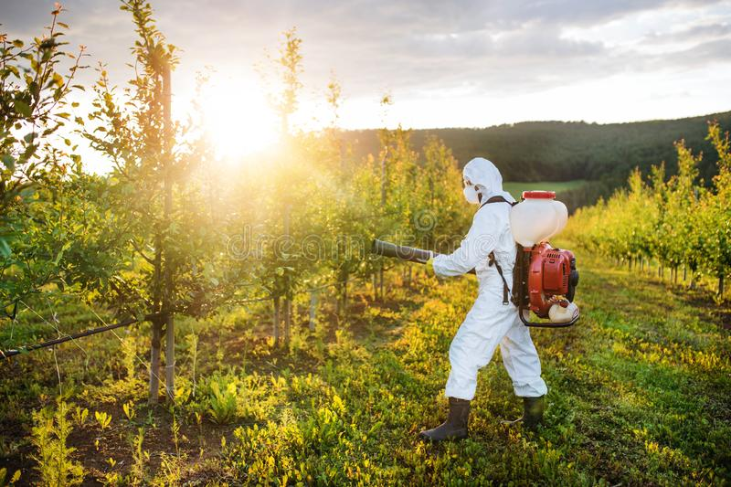 A farmer outdoors in orchard at sunset, using pesticide chemicals. royalty free stock image