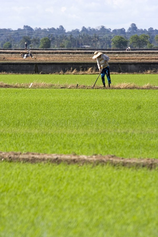 Farmer at Paddy Field stock photography