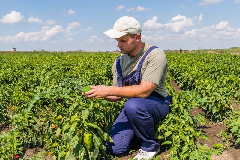 Farmer in pepper fields stock image