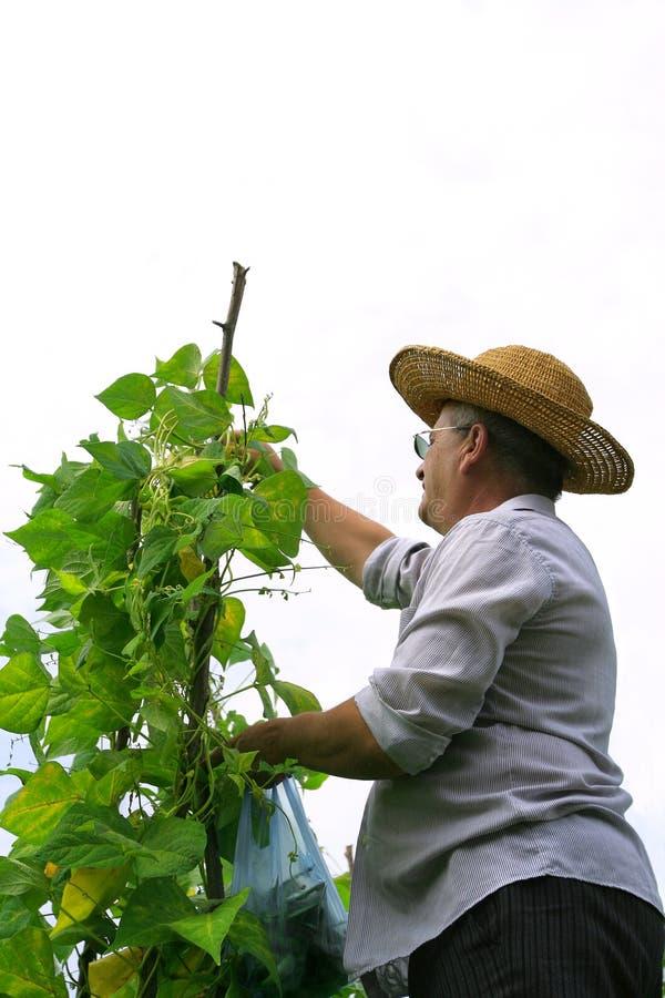 Farmer Picking Haricot royalty free stock image