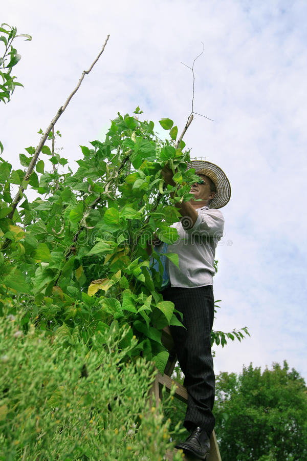 Farmer Picking Haricot stock photography