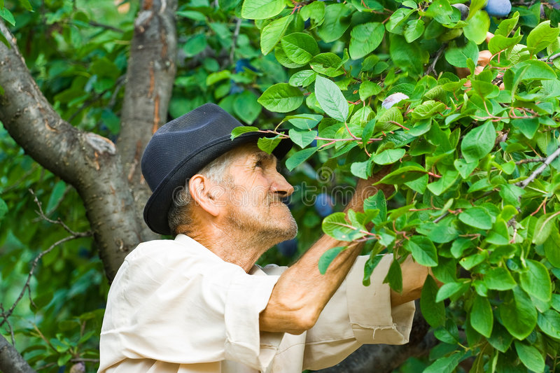 Download Farmer picking plums stock photo. Image of outdoors, fall - 6097242