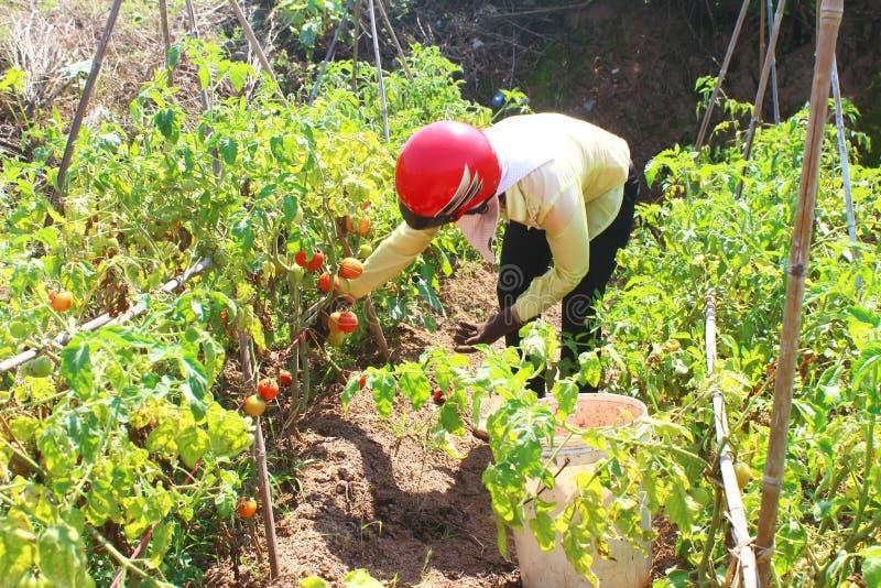 Farmer picking ripe tomato in vegetable garden stock image