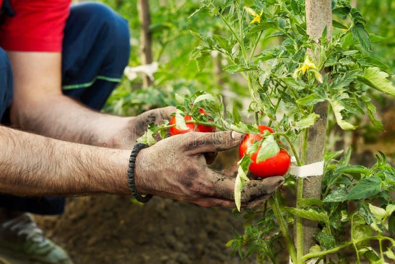 Farmer picking tomato royalty free stock photo