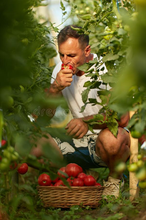 Farmer picking tomatoes. Farmer picking and eating tomatoes in his hothouse garden stock photos