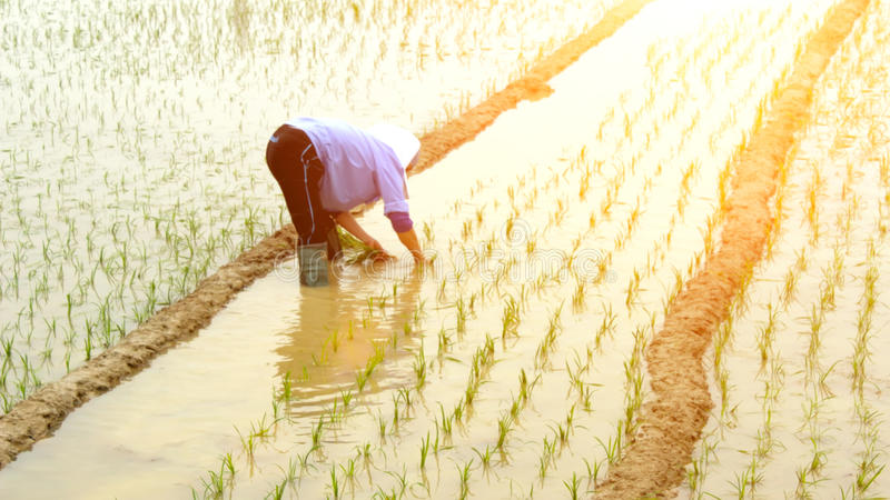 A farmer planting rice in the field stock images