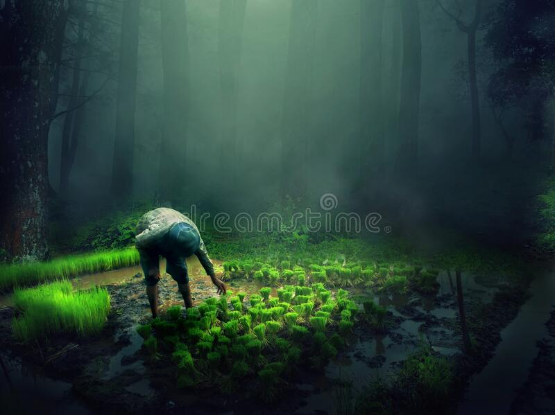 A farmer is planting rice in a foggy forest-edge rice field. With sunlight penetrating the leaves of a large tree royalty free stock photography