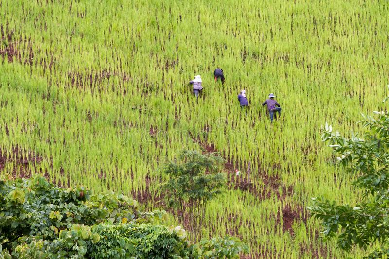 Farmer planting rice on a mountainside, high elevation rice field with country people working. Traditional mountain agriculture in Nan province in Thailand royalty free stock photos