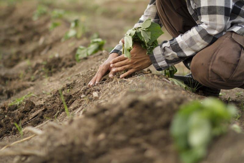 Farmer planting sweet potato stock photos