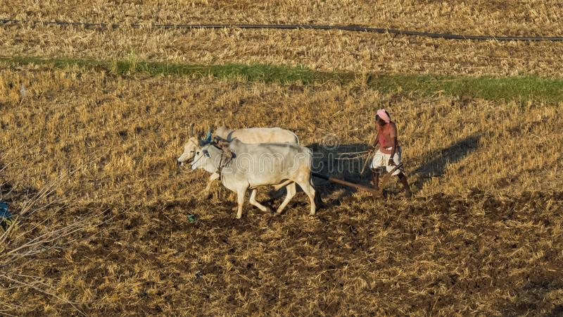 Farmer ploughing field by bulls-India. A Farmer ploughing field by bulls after harvesting wheat crop in the month of march and preparing field/farm for the next royalty free stock photography