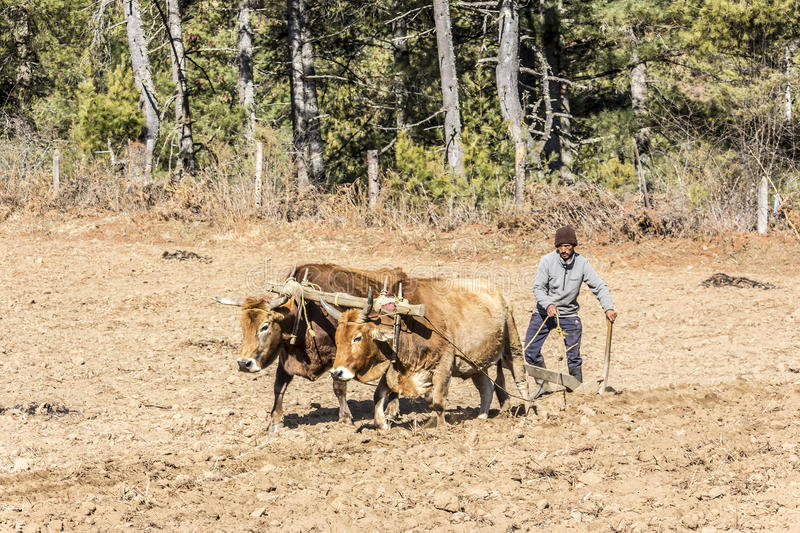 Farmer Plowing With Oxen Editorial Stock Image