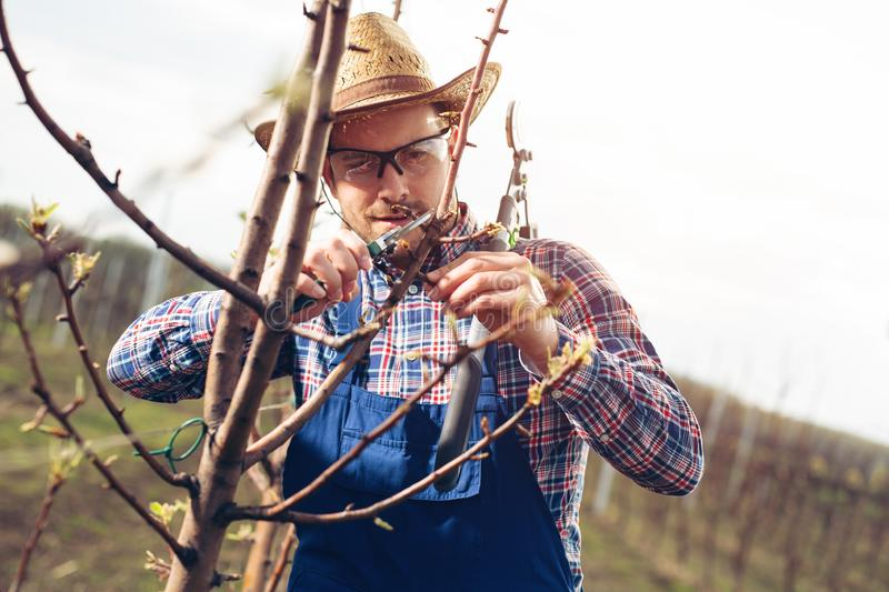 Farmer pruning fruit trees in orchard. Young Farmer pruning fruit trees in orchard royalty free stock photos