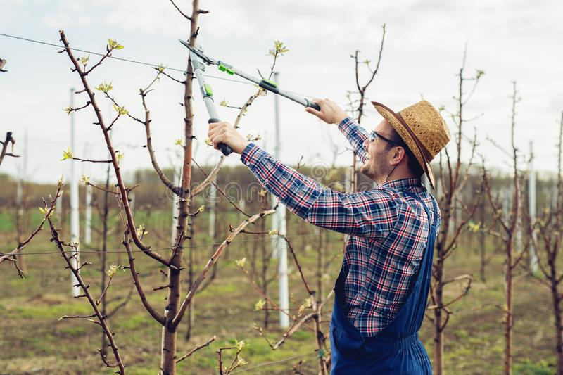 Farmer pruning fruit trees in orchard. Young Farmer pruning fruit trees in orchard stock image